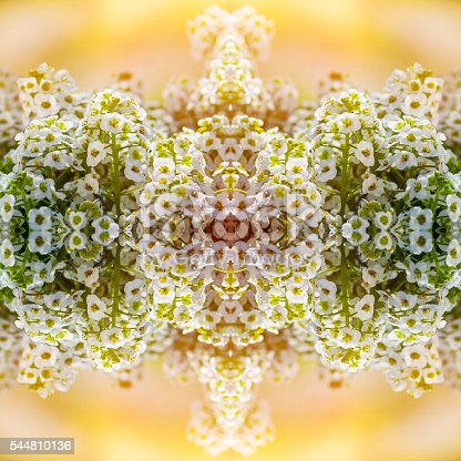 Square composition color composite photography of kaleidoscope pattern of beautiful close-up of Lobularia maritima flower, Alyssum also called Alysse Odorante, flowering plants in the family Brassicaceae, native to Europe. This is a perennial herbaceous plants. The widely cultivated species popularly known as