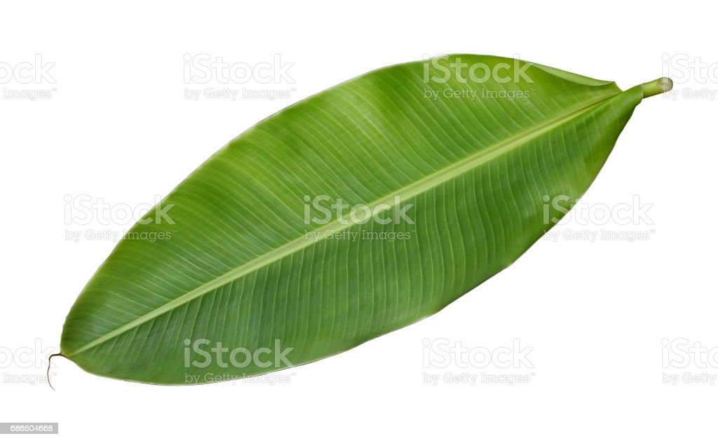 Fresh whole banana leaf isolated on white background foto stock royalty-free