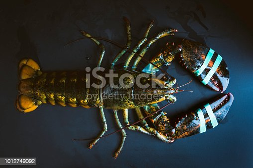 Fresh -and alive- whole lobster on black background with rubber bands on claws.