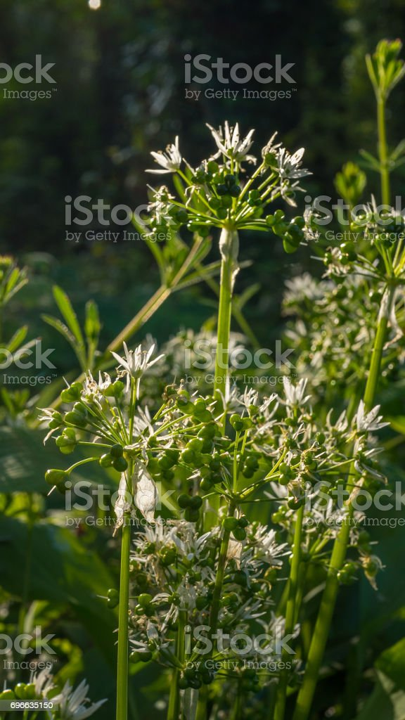fresh wild garlic leaves with flowers stock photo