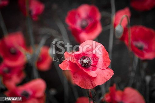 Close up color image depicting fresh red poppies growing wild at the side of the road. The background consists of the urban weathered wall of a building. The wall is rusted and damaged and in a general state of decay, which is contrasted markedly with the collection of beautiful flowers. Room for copy space.