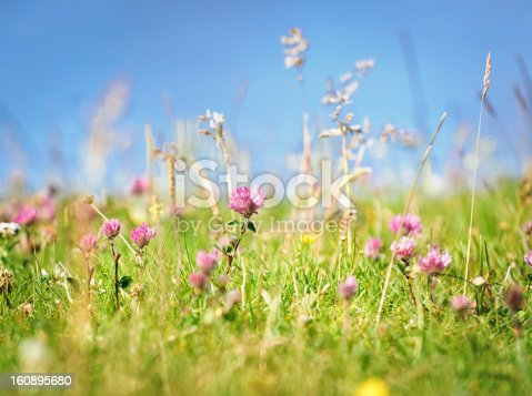 Close-up of a clover flower (Trifolium pratense or red clover) growing among long grass and other wild flowers in a summer meadow.