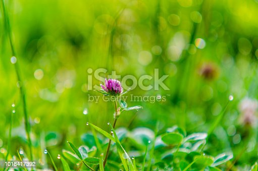 Fresh Wild Summer Meadow with Clover