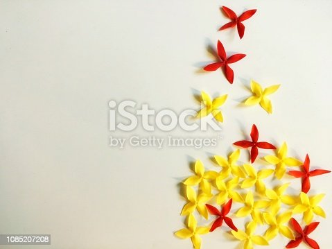 Fresh yellow and red Ixora coccinea flower alignment isolate on white background. Top view of flower cluster and some separate as blowing.