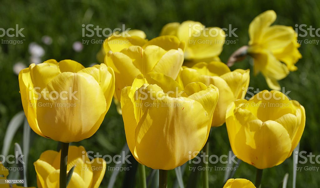 Tulips golden yellow in spring royalty-free stock photo