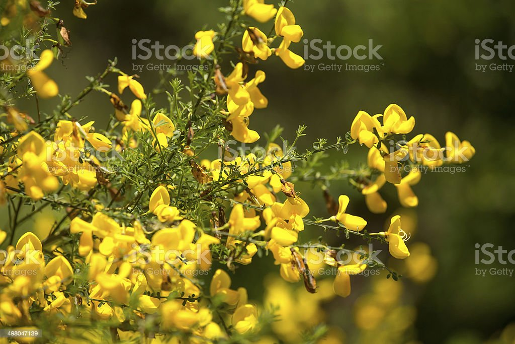 Fresh Yellow Broom Plant Stock Photo More Pictures Of Botany Istock