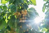 Fresh yellow cherry berries on a tree branch.
