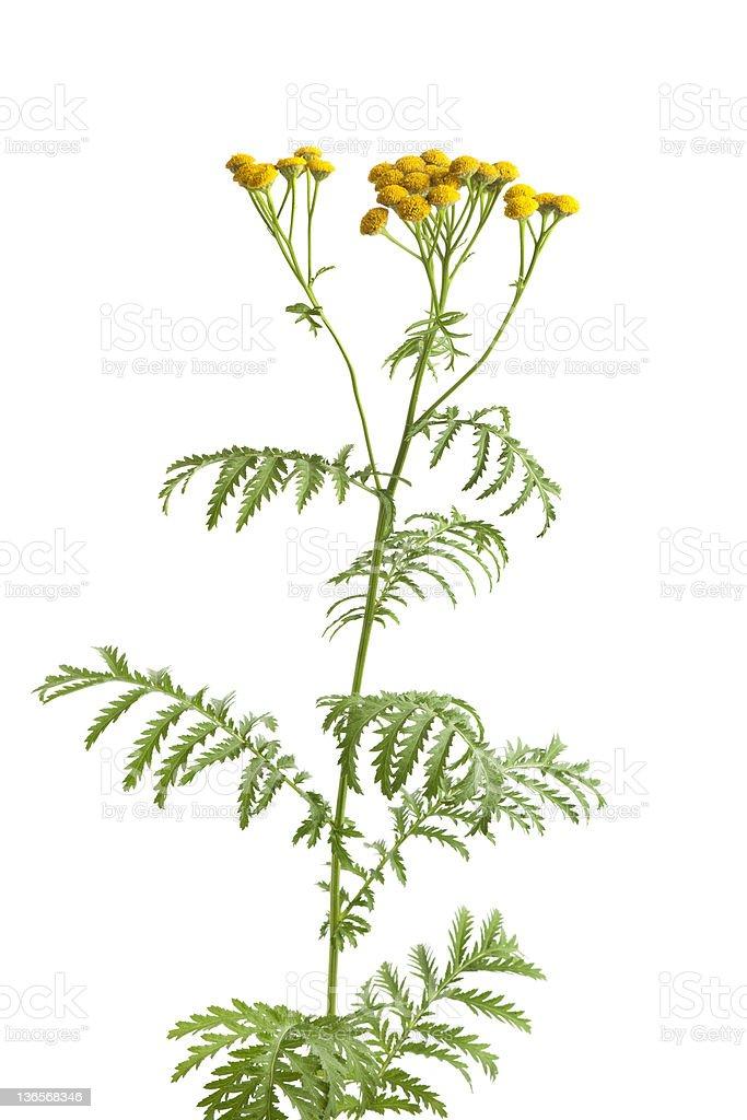 Fresh yellow Common Tansy royalty-free stock photo
