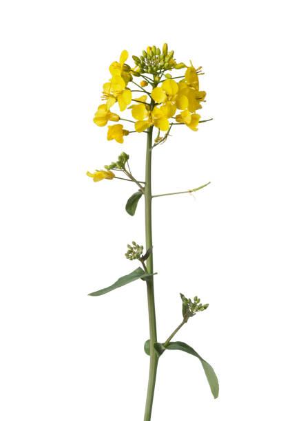 frische gelbe senf feldblume - rübsen stock-fotos und bilder