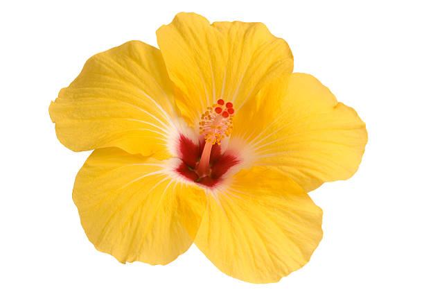 żółty hibiskus - pręcik część kwiatu zdjęcia i obrazy z banku zdjęć