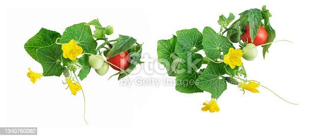 istock Fresh young cucumber and tomato leaves, fresh young cucumbers (gherkins) and cherry tomatoes, cucumber flowers isolated on a white background 1340760382