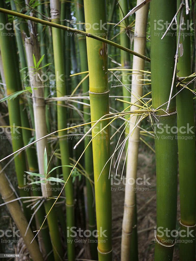 Fresh Young Green Bamboo Stalks Jungle Thicket royalty-free stock photo