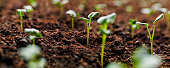 Horizontal image of healthy green young vegetable seedlings or plant shoots having just germinated and rising out of the soil, very shallow depth of field with focus on the seedling in the foreground.