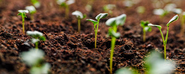 Fresh young green seedlings having just germinated in soil slowly rise above the soil with a very shallow depth of field. stock photo