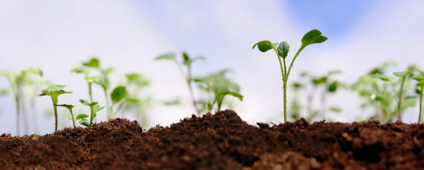 Fresh young green wet Kale seedlings having just germinated slowly rise up above the soil. stock photo
