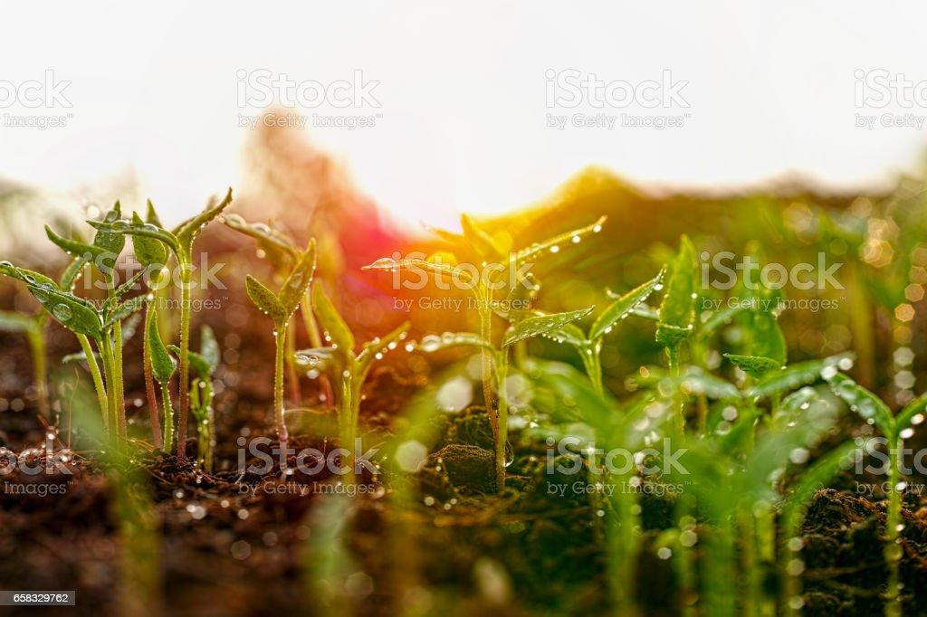 Frescos verdes mojados plantas de semillero jóvenes apenas que germinó en el suelo lentamente se levantan sobre el suelo con muy poca profundidad de campo. - foto de stock