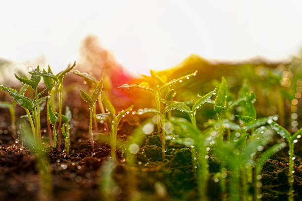 fresh young green wet seedlings having just germinated in soil slowly rise above the soil with a very shallow depth of field. - organic farm stock photos and pictures