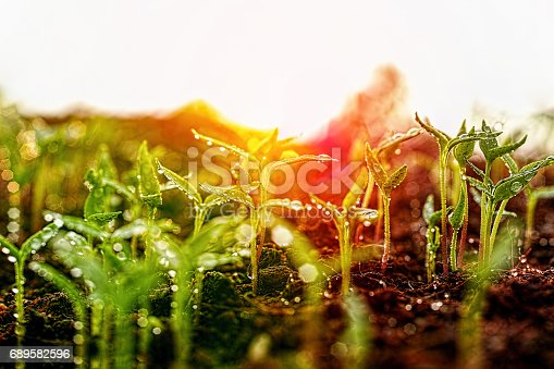 istock Fresh young green wet seedlings having just germinated slowly rise up above the soil at sunrise. 689582596