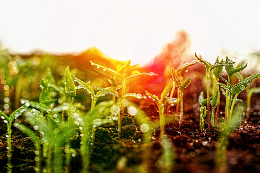 Fresh young green wet seedlings having just germinated slowly rise up above the soil at sunrise.