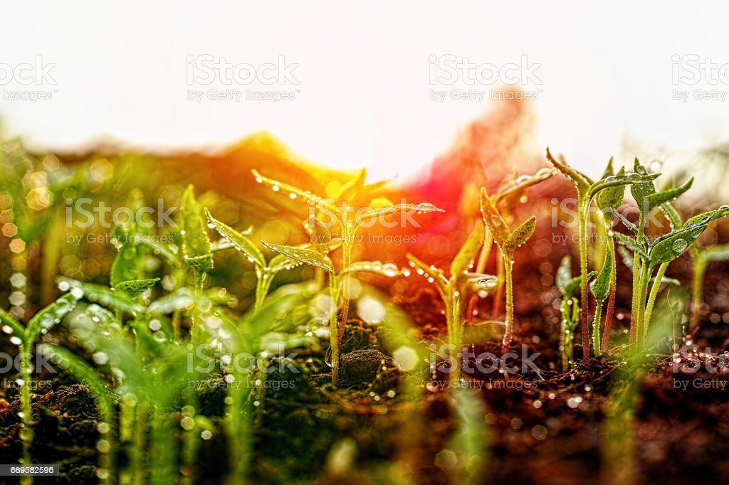 Fresh young green wet seedlings having just germinated slowly rise up above the soil at sunrise. - foto stock