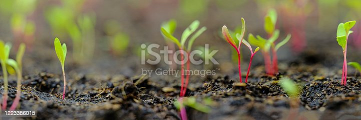 Horizontal image of healthy green, yellow and red young chard vegetable seedlings having just germinated and rising out of the soil, very shallow depth of field.