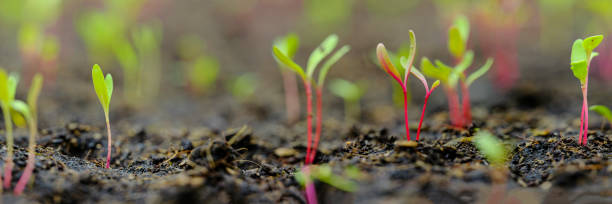 Fresh young green, yellow and red chard vegetable seedlings having just germinated in soil slowly rise above the soil with a very shallow depth of field. stock photo