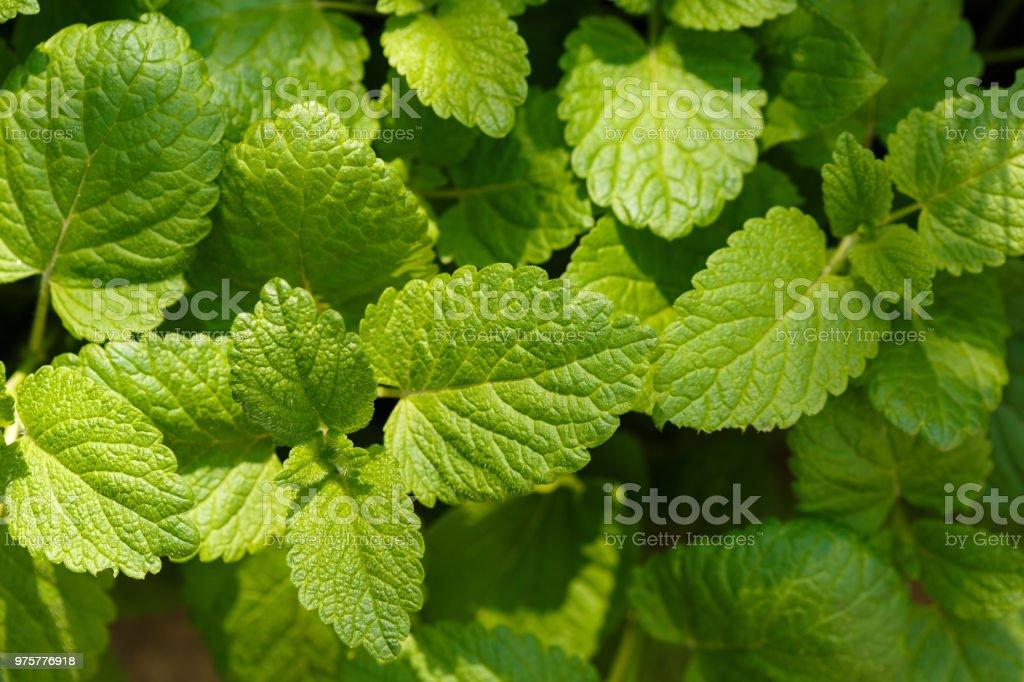 frischen jungen Blätter von Melissa im zeitigen Frühjahr - Lizenzfrei Aromatherapie Stock-Foto