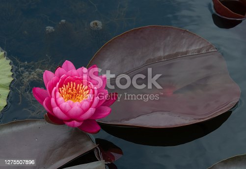Fresh young pink Hardy Water Lilies. Other name is Nymphaea