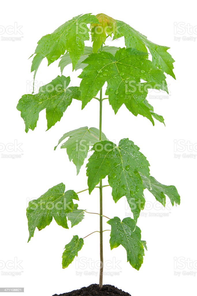Fresh Young Tree royalty-free stock photo