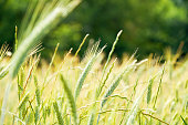 istock Fresh young wheat ear on blurred forest background. Green Emmer wheat Triticum dicoccum spike. 1307983714