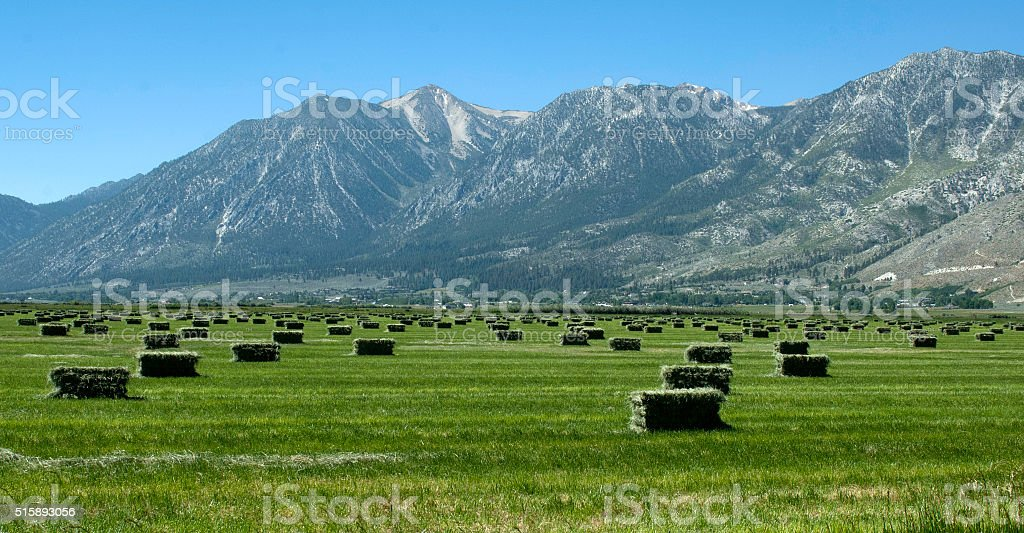 Freshly bailed alfalfa in Nevada's Carson Valley stock photo