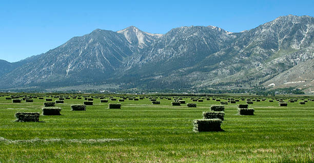 Freshly bailed alfalfa in Nevada's Carson Valley stock photo