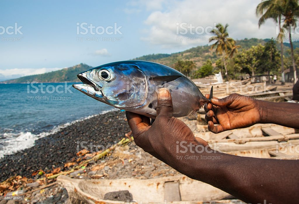 Freshly caught Albacore tuna on the hands of local fisherman stock photo