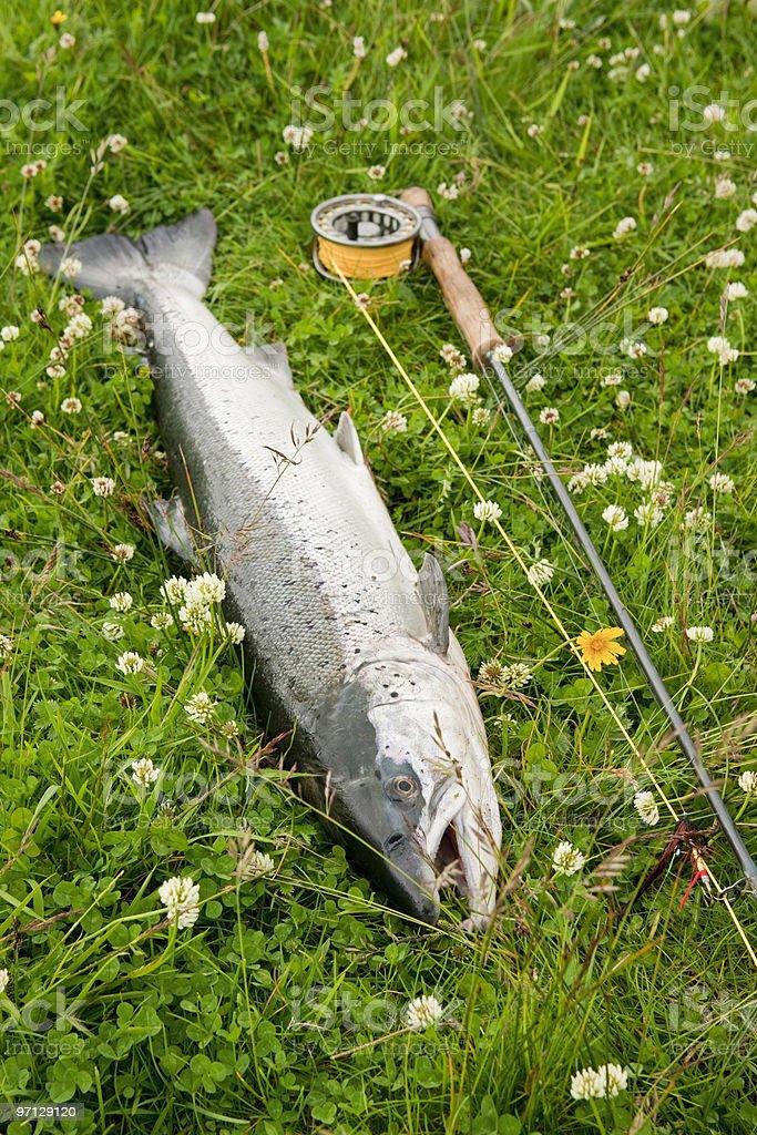 Freshly caught atlantic salmon stock photo