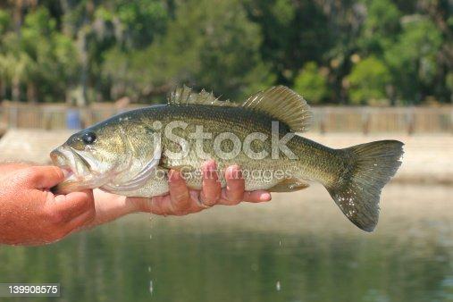 istock Freshly Caught Bass 139908575