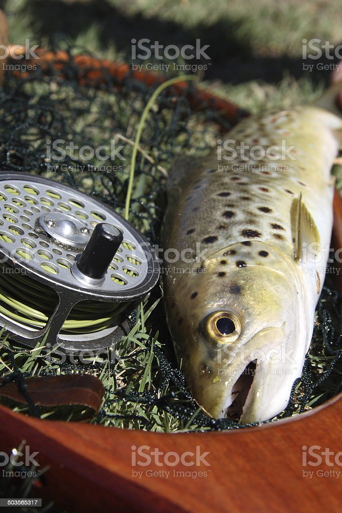 Freshly caught brown trout lying on a landing net. royalty-free stock photo