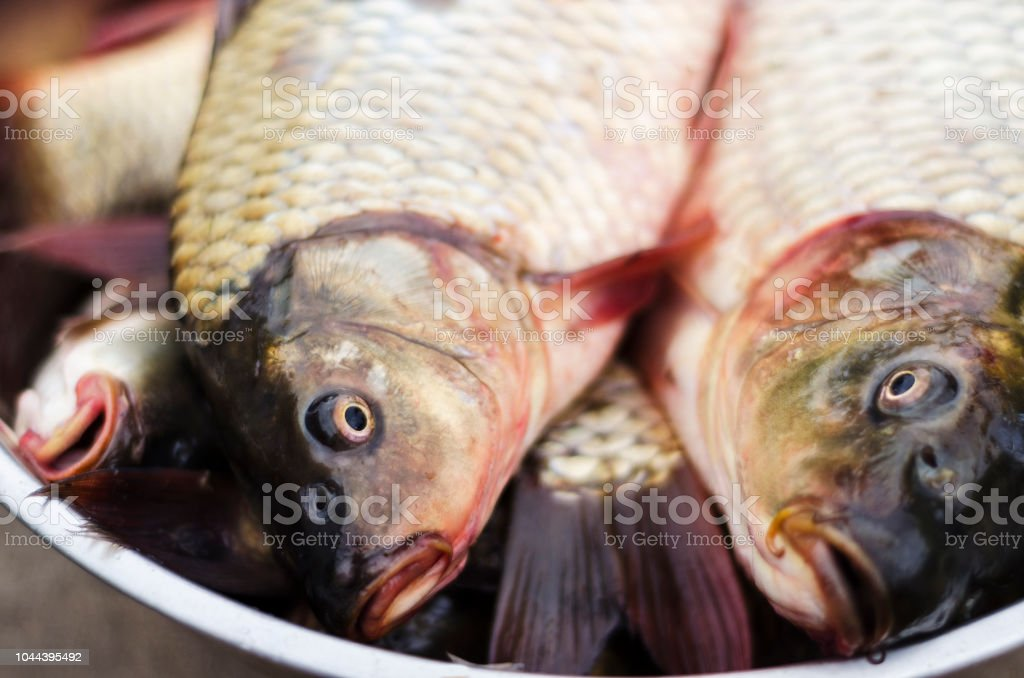 freshly caught carp in a bowl stock photo