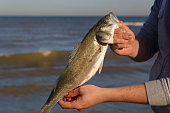 close up of fisherman holding freshly caught European sea bass on the beach with water, waves and sky in the background