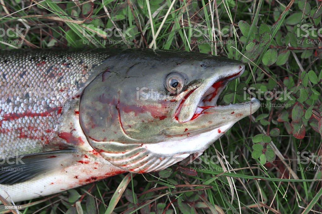 Freshly caught salmon royalty-free stock photo