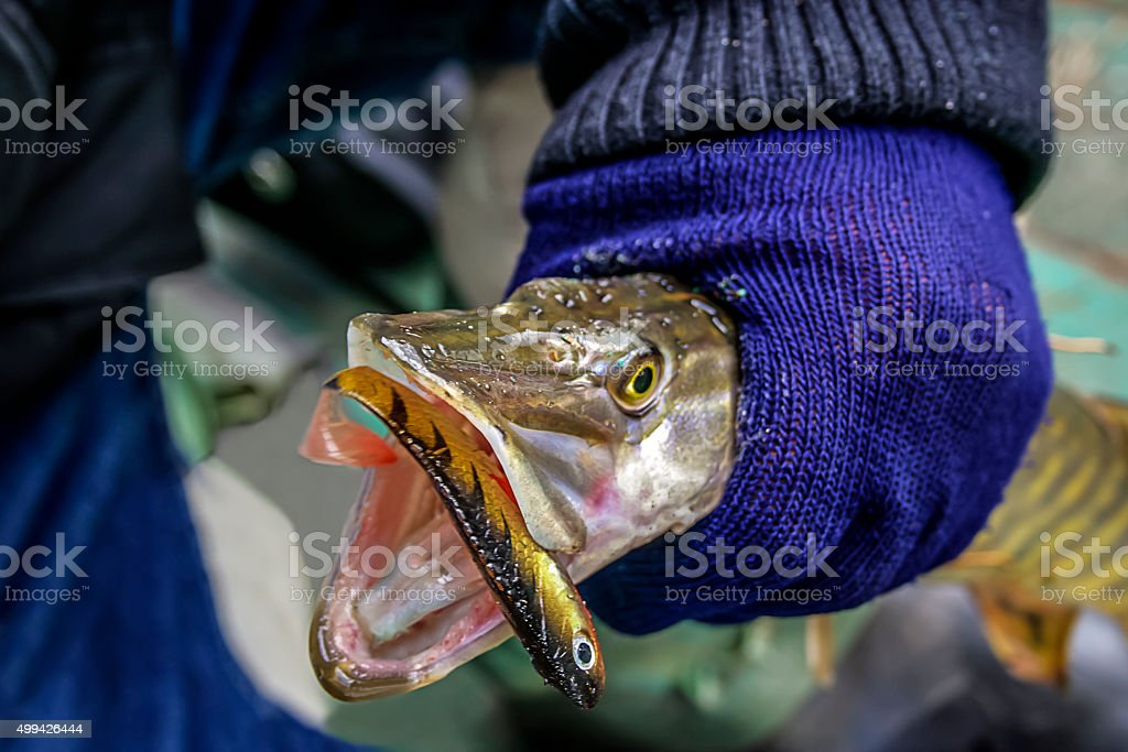 Freshly caught small pike stock photo