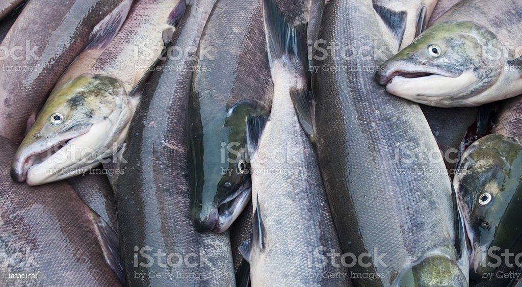 Freshly caught sockeye salmon royalty-free stock photo