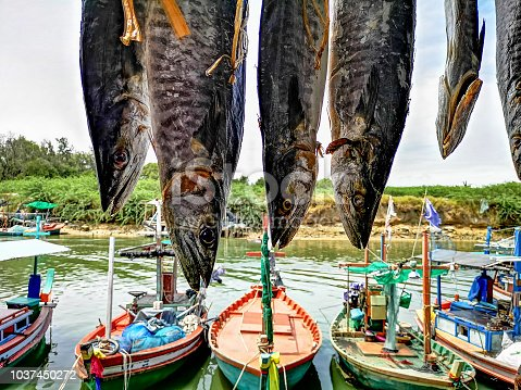 Freshly caught Spanish Mackerel from the Gulf of Thailand hanging up to dry in front of small fishing trawler boats in Hua Hin, Thailand. This fish is a delicacy with Thai locals and is normally dried thoroughly before cooking pieces in Thai recipes.