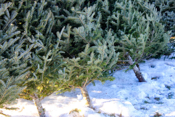 Freshly Cut Christmas Trees in a Row stock photo