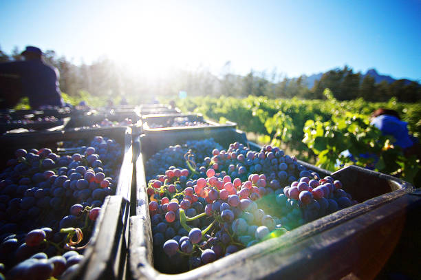 Freshly Cut Grapes after being Harvested at sunrise in crates between the vineyards Freshly Cut Grapes after being Harvested at sunrise in crates between the vineyards Stellenbosch South Africa merlot grape stock pictures, royalty-free photos & images