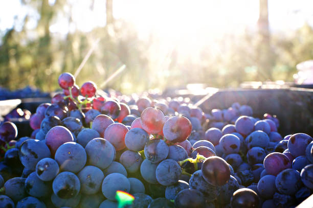 Freshly Cut Grapes after being Harvested with Sunrise Copy Space less bokeh Freshly Cut Grapes after being Harvested with Sunset Copy Space less bokeh Stellenbosch South Africa cabernet sauvignon grape stock pictures, royalty-free photos & images