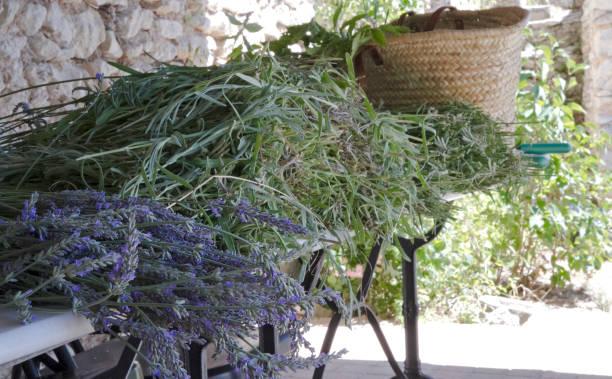 Freshly cut lavender stock photo