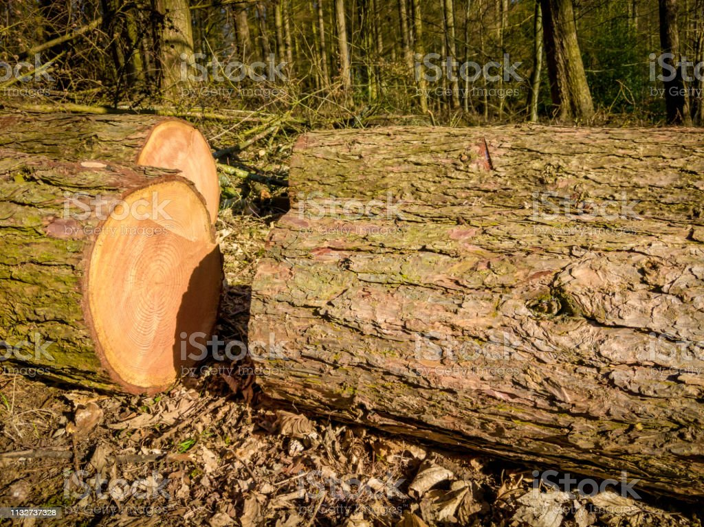 Freshly cut timber logs in a woodland stock photo