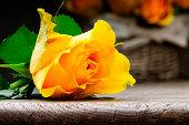 Freshly cut yellow rose