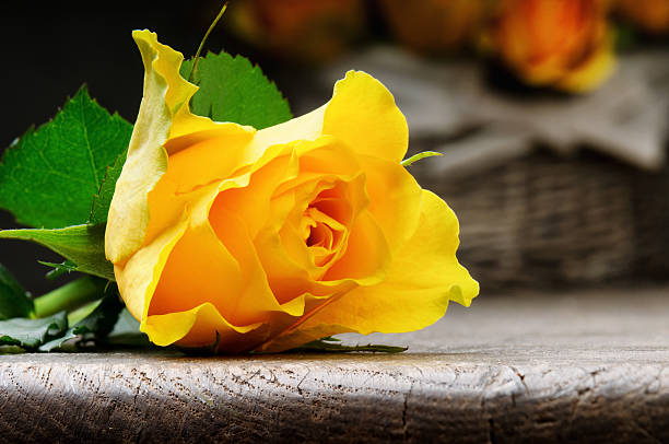 Freshly cut yellow rose stock photo