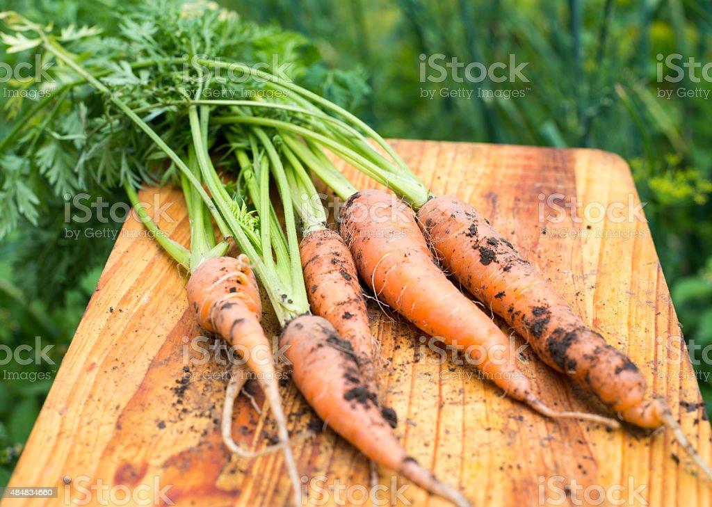 Freshly dug carrots stock photo